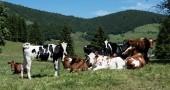 Le 4 mila mucche che voleranno in Qatar per sostituire il latte saudita