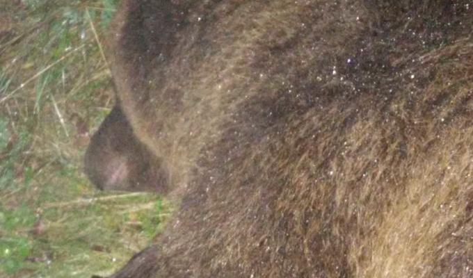 orso francesco