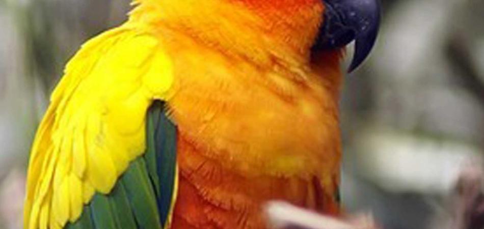 pappagallo pallonata