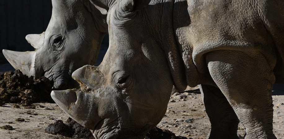 rinoceronte asta