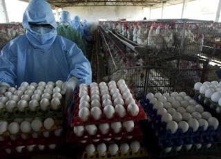 Hong Kong ha bloccato importazione polli e uova da Milano