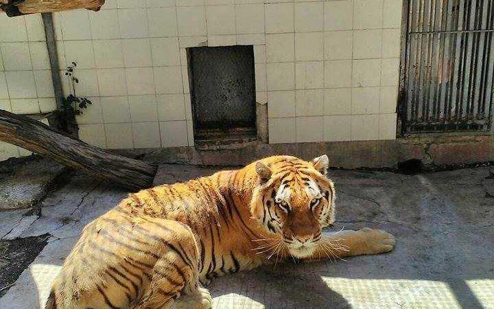tigre Kashmir