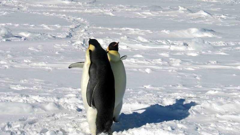 pulcini di pinguino
