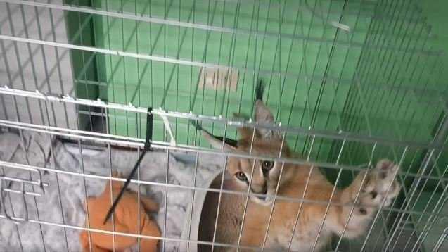grum caracat